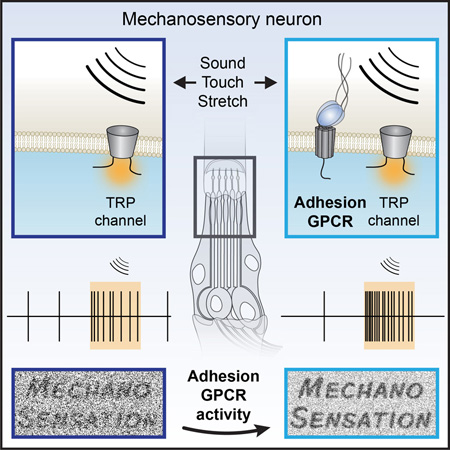 Adhesion GPCRs shape mechanosensation